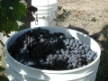 Dolcetto grapes