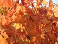 Dolcetto in Fall