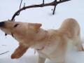 Winery dog, Brix, pulling brush - free labor!