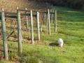 Casper in Vineyard