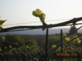 Pinot Noir new growth