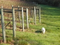 Casper in Vineyard