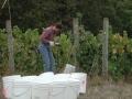 Harvesting Pinot Noir